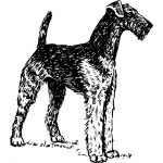 Airedale Terrier - An Introduction